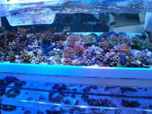 店内水槽にはキレイなサンゴがぎっしり
