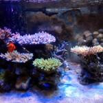 サンゴ、新しい水槽レイアウト変更
